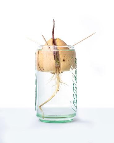 Aufzucht Avocadokern im Wasserglas.
