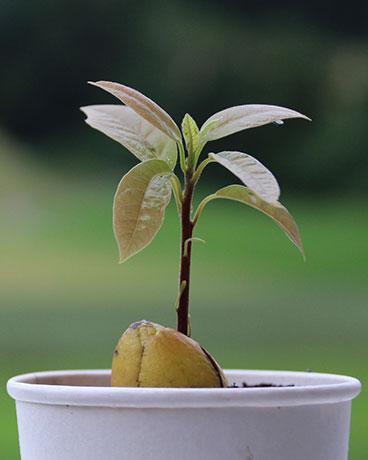 Einpflanzen des Avocadokerns in Anzuchterde.